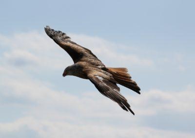 eagle-217591_1920