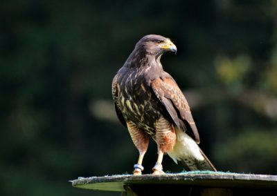 peregrine-falcon-3023839_1920